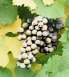 Pinot noir grapes.