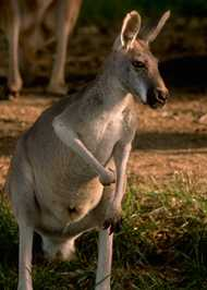 The red kangaroo.  Click to visit the link.