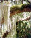 Spanish (formerly French) moss.  Click to visit the land of Spanish moss (the Deep South).